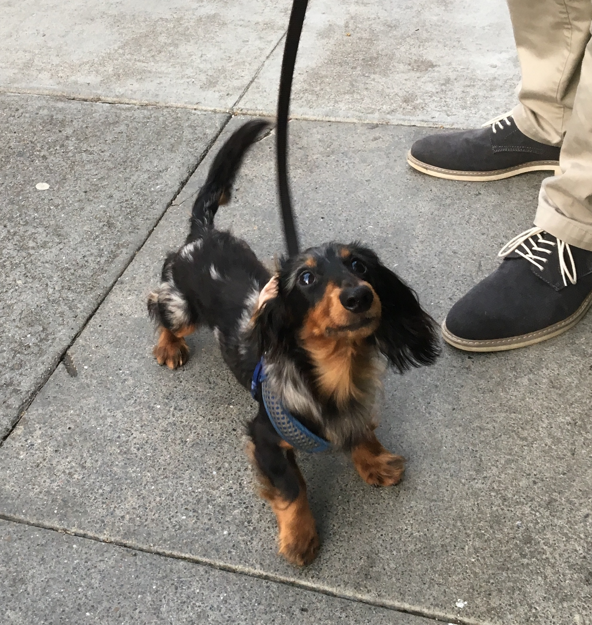 Long-Haired Black And Tan Dachshund With Blue Dappling And One Flopped-Back Ear