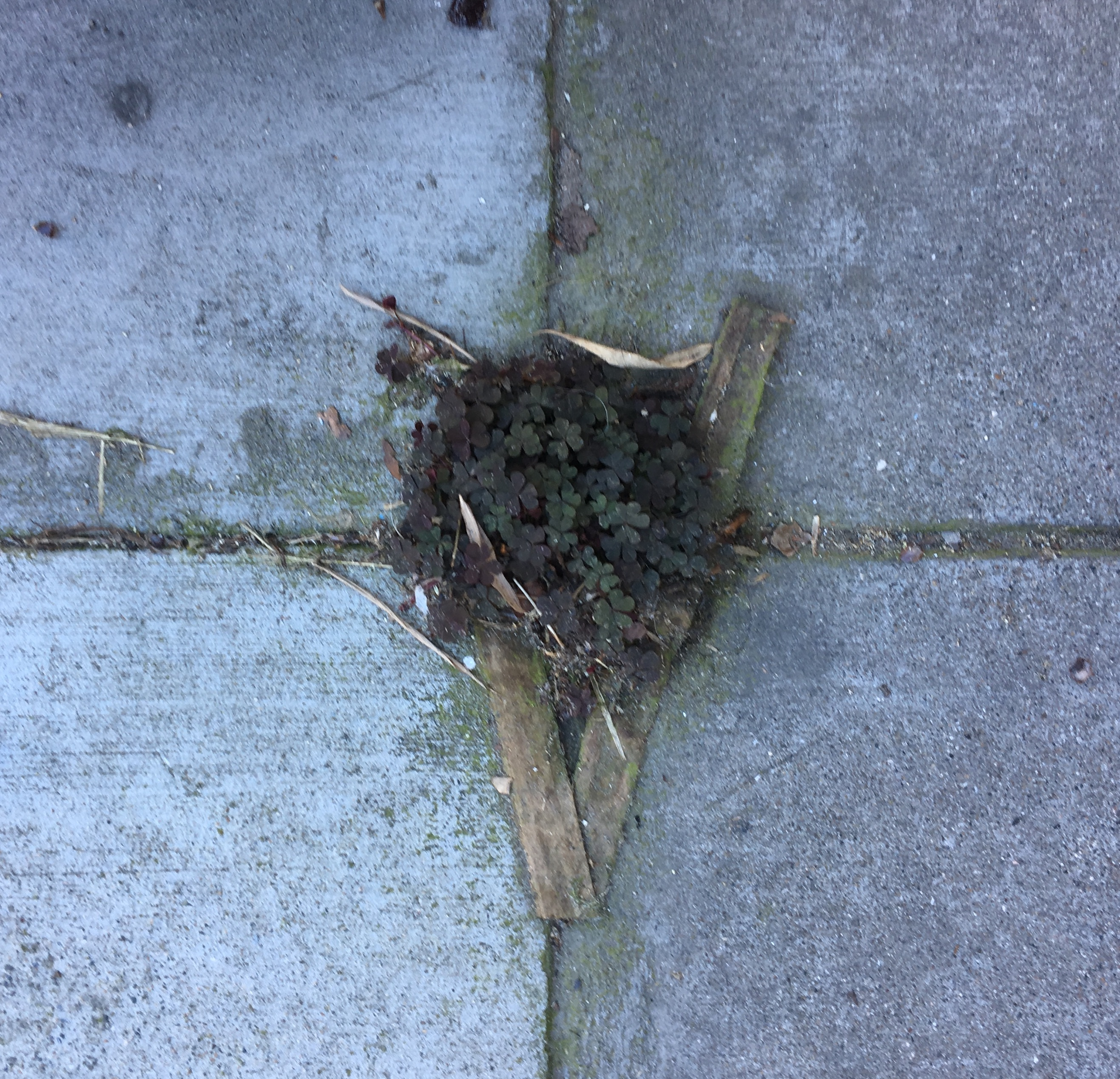 Patch Of Clover Growing From Cracks In The Sidewalk