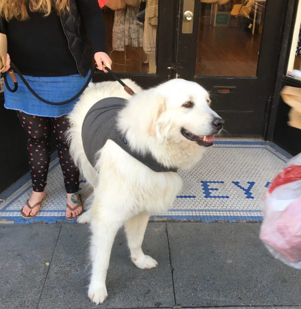 Great Pyrenees In A Thundershirt