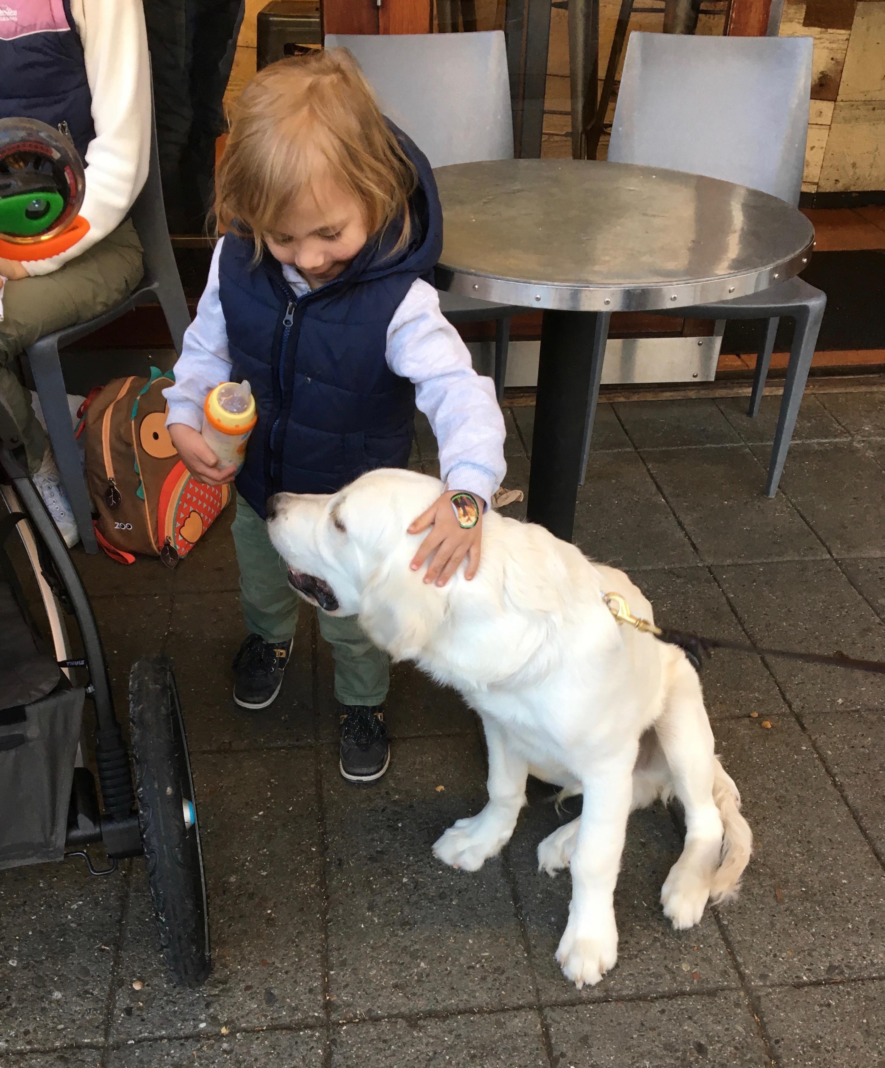 Little Girl Petting English Cream Golden Retriever Puppy
