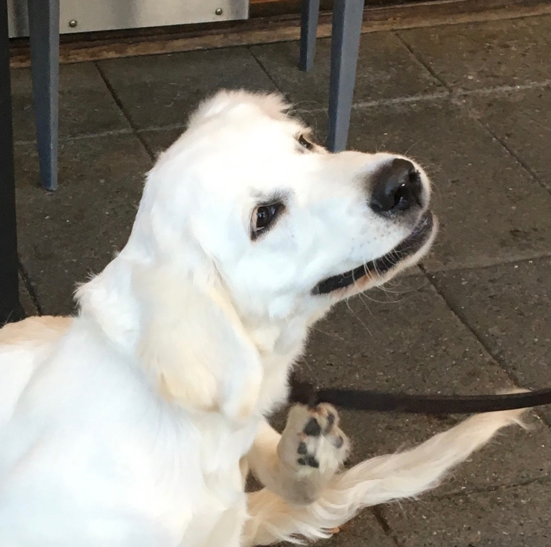 English Cream Golden Retriever Puppy Scratching An Itch