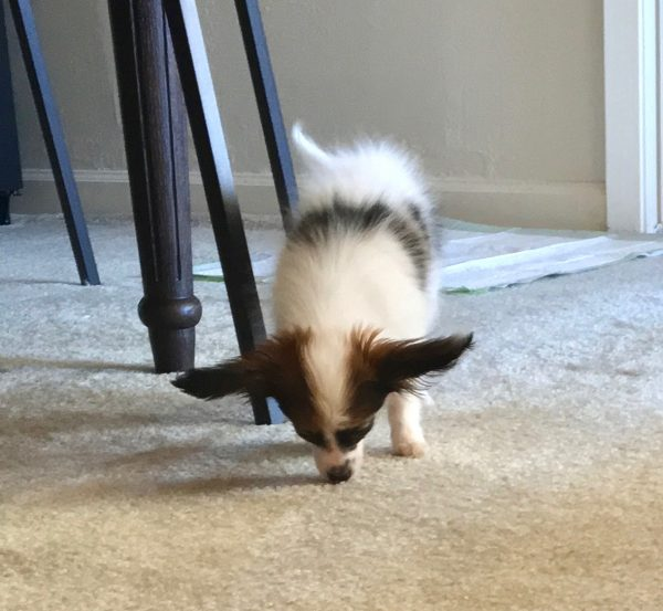 Papillon Puppy Searching The Carpet For Crumbs