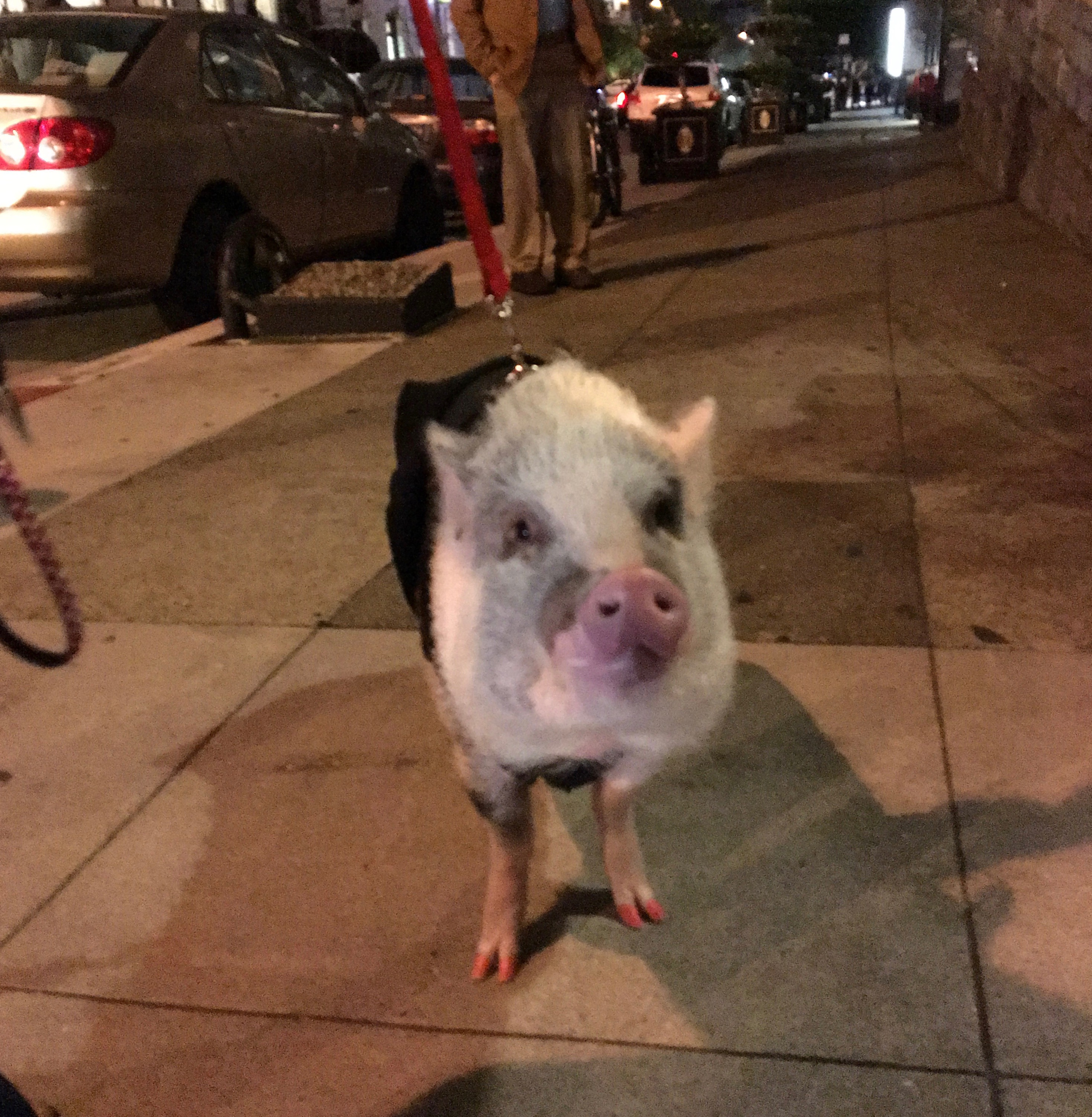 LiLou the Therapy Pig With Red-Painted Trotters