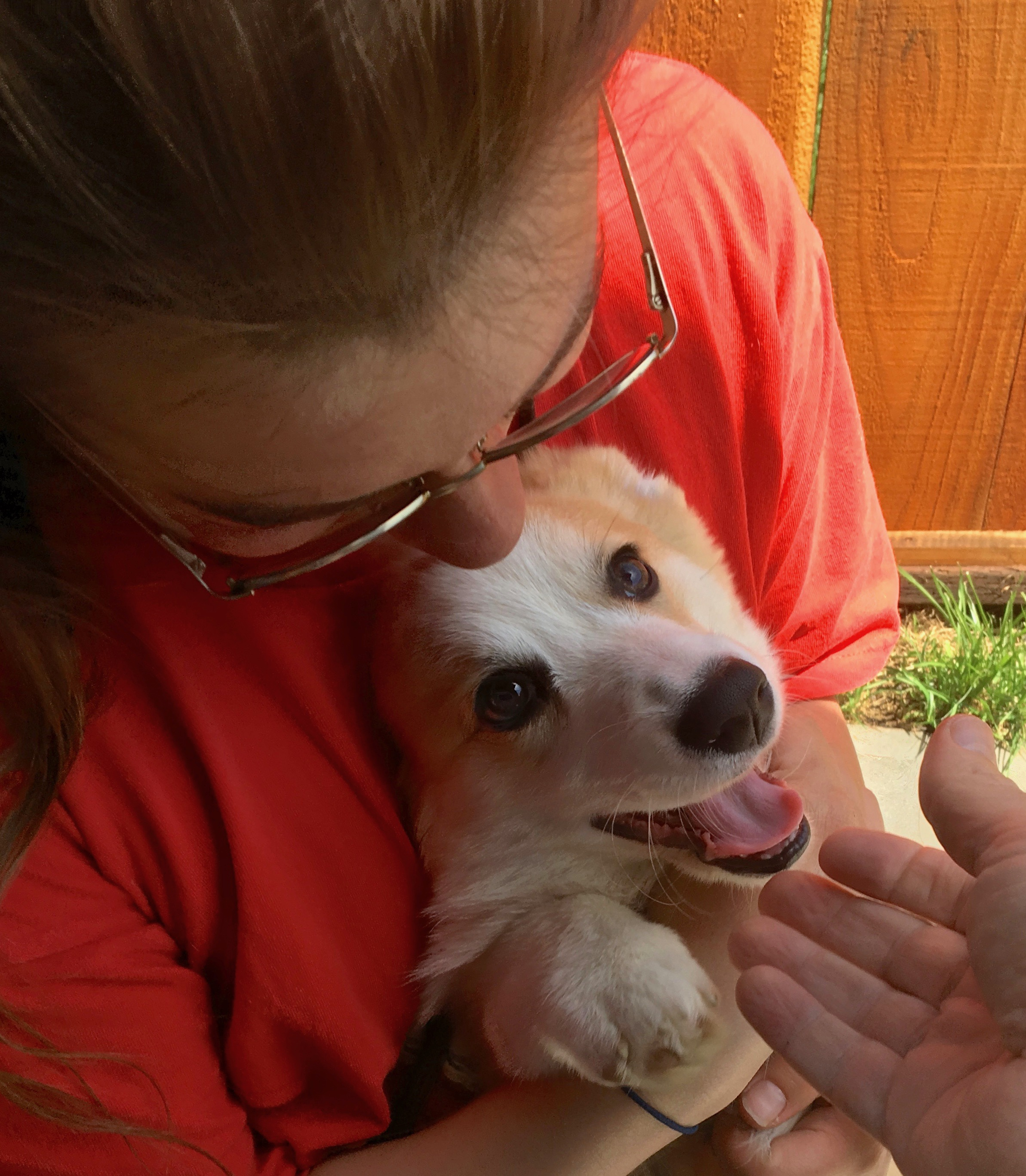 Woman Cuddles A Delighted Pembroke Welsh Corgi Puppy