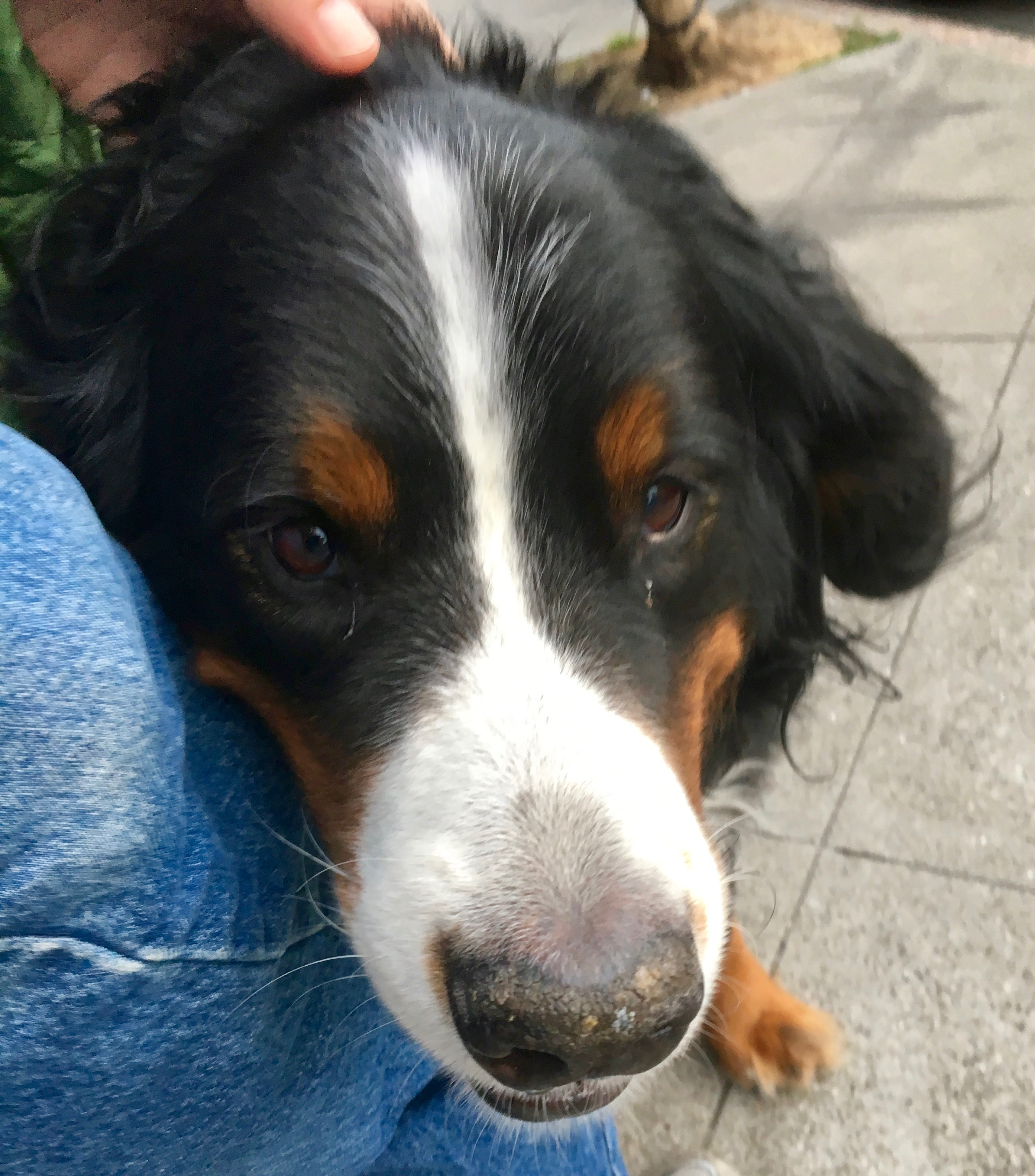 Bernese Mountain Dog Face Smiling At The Camera