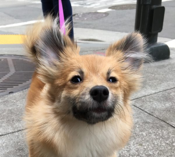 Dog That Looks Remarkably Like A Fox