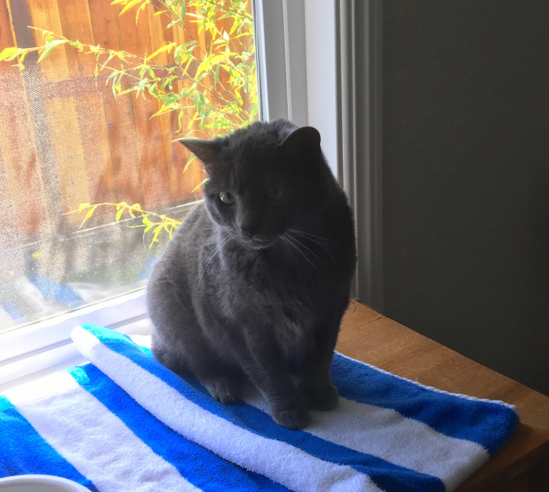 Grey Kitty In Sitting In A Window