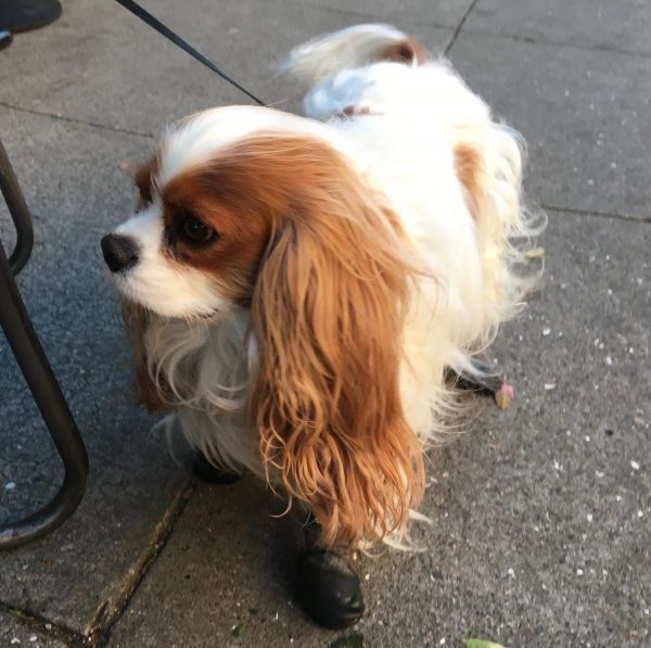 Cavalier King Charles Spaniel In Cute Little Black Leather Booties