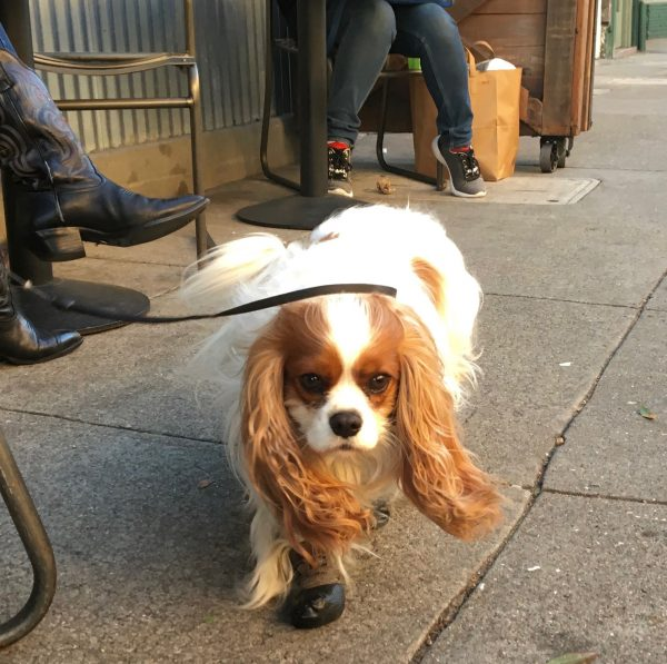 Cavalier King Charles Spaniel In Boots