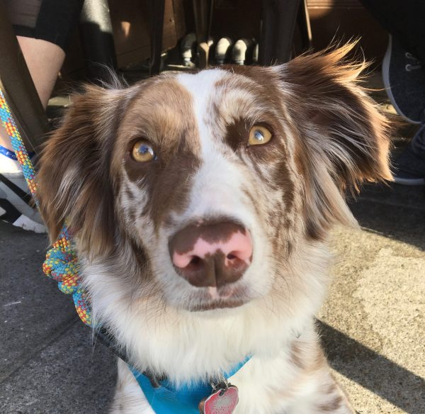 Red Merle Australian Shepherd With Partly Pink Nose
