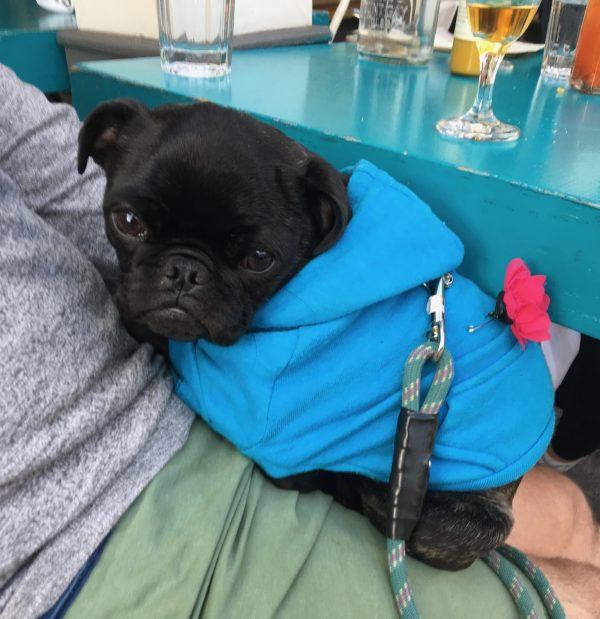 Black Pug Puppy In Blue Hoodie On Man's Lap