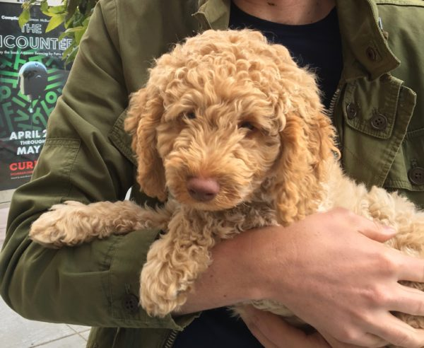 Goldendoodle Puppy In Man's Arms
