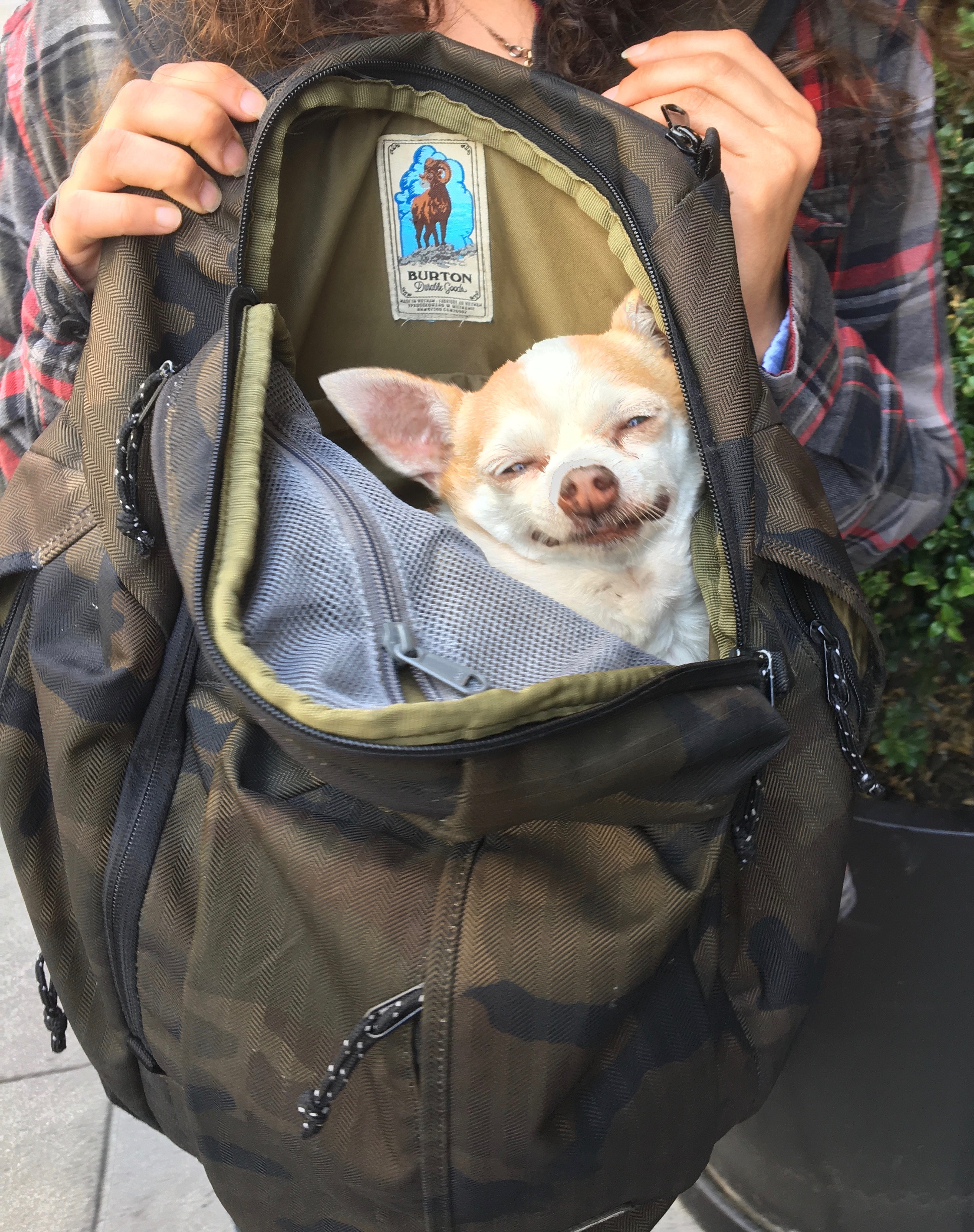 Chihuahua In A Backpack, Grinning