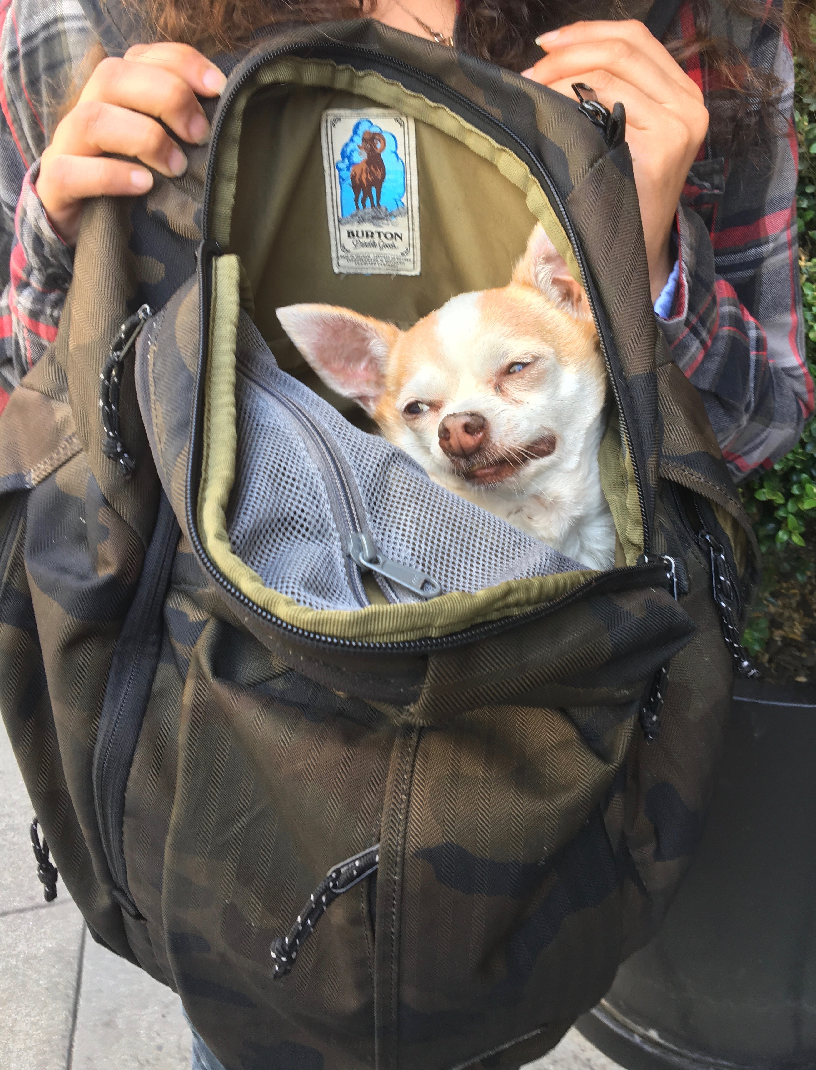 Chihuahua In A Backpack Looking Dopey