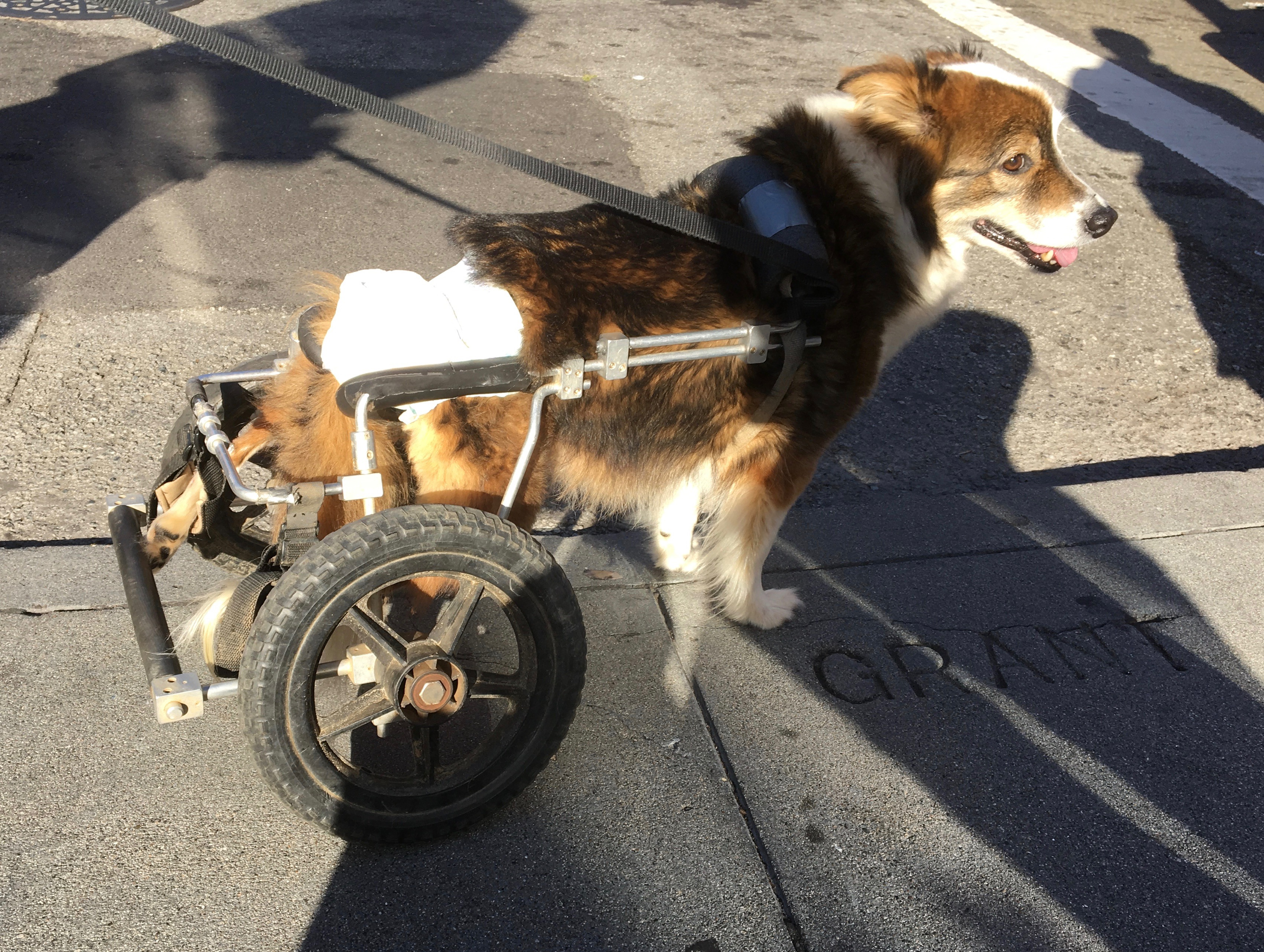 Herding Dog Mix With Wheeled Cart On Hind Legs