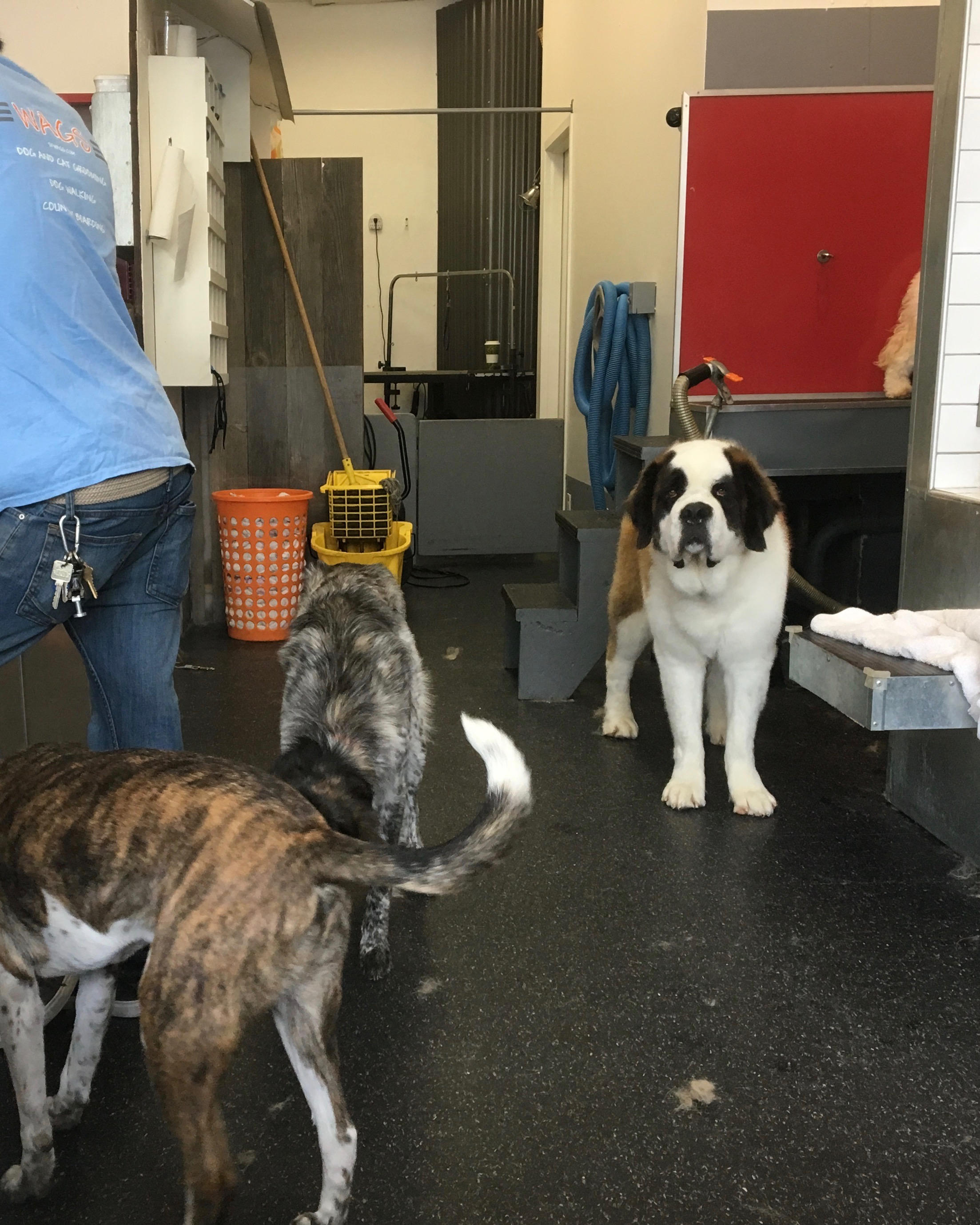 Several Dogs Including One Saint Bernard