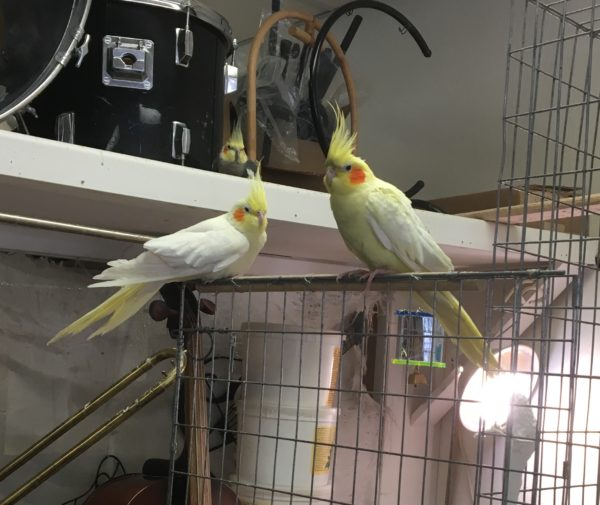 Two Cockatiels In A Music Shop