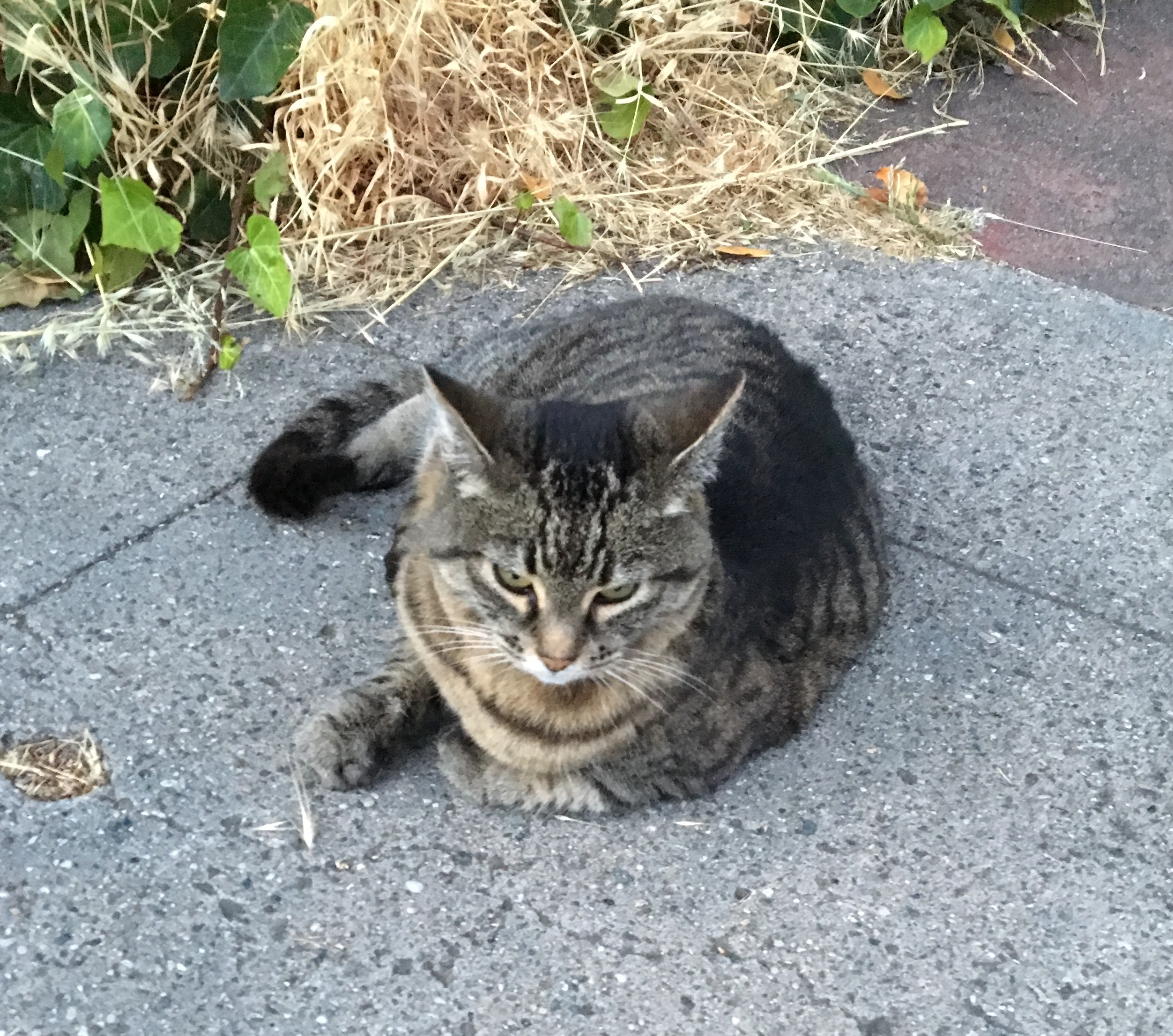 Tiger Tabby Cat Sitting On Concrete