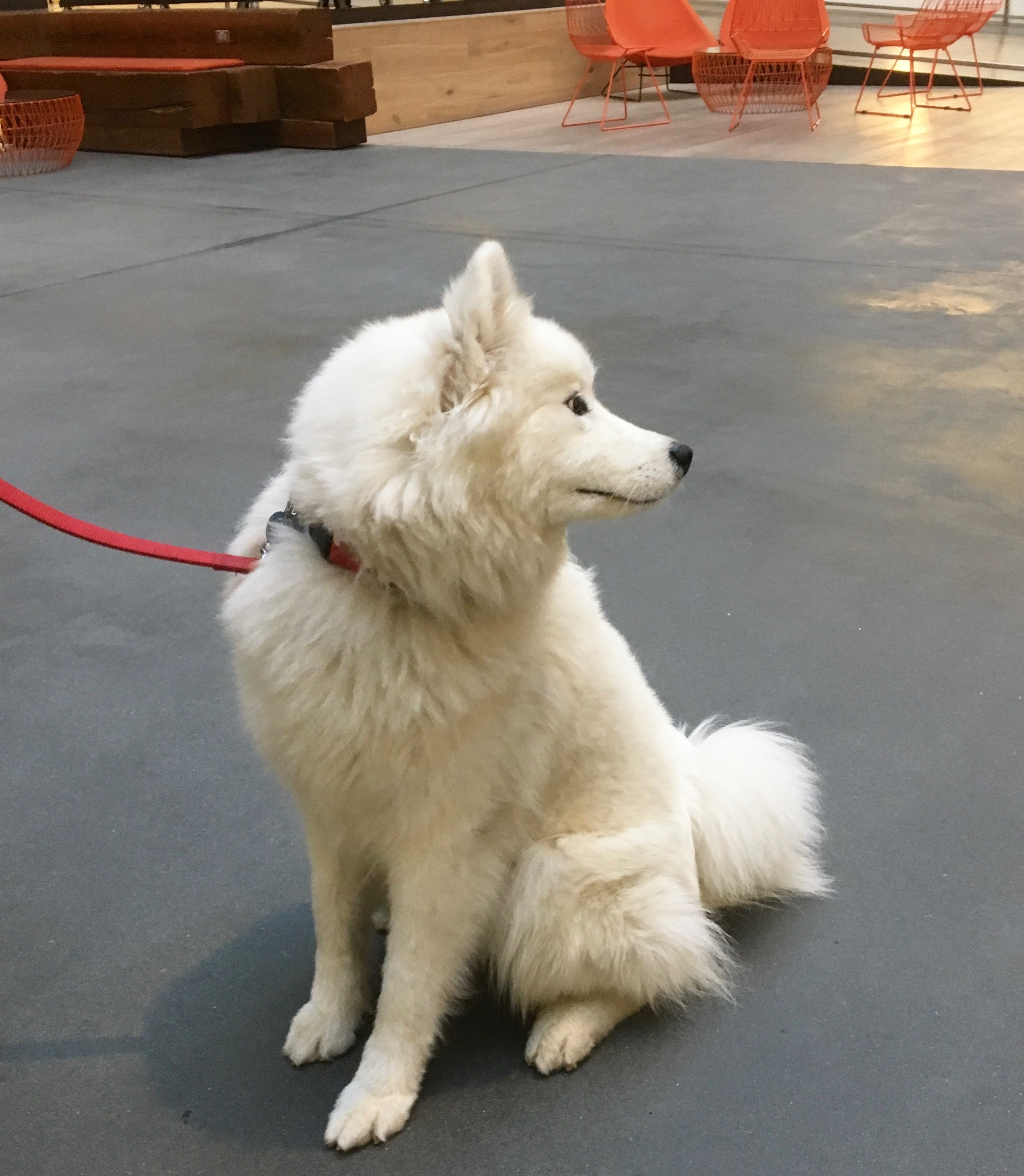 Sitting Samoyed Looking Over His Shoulder