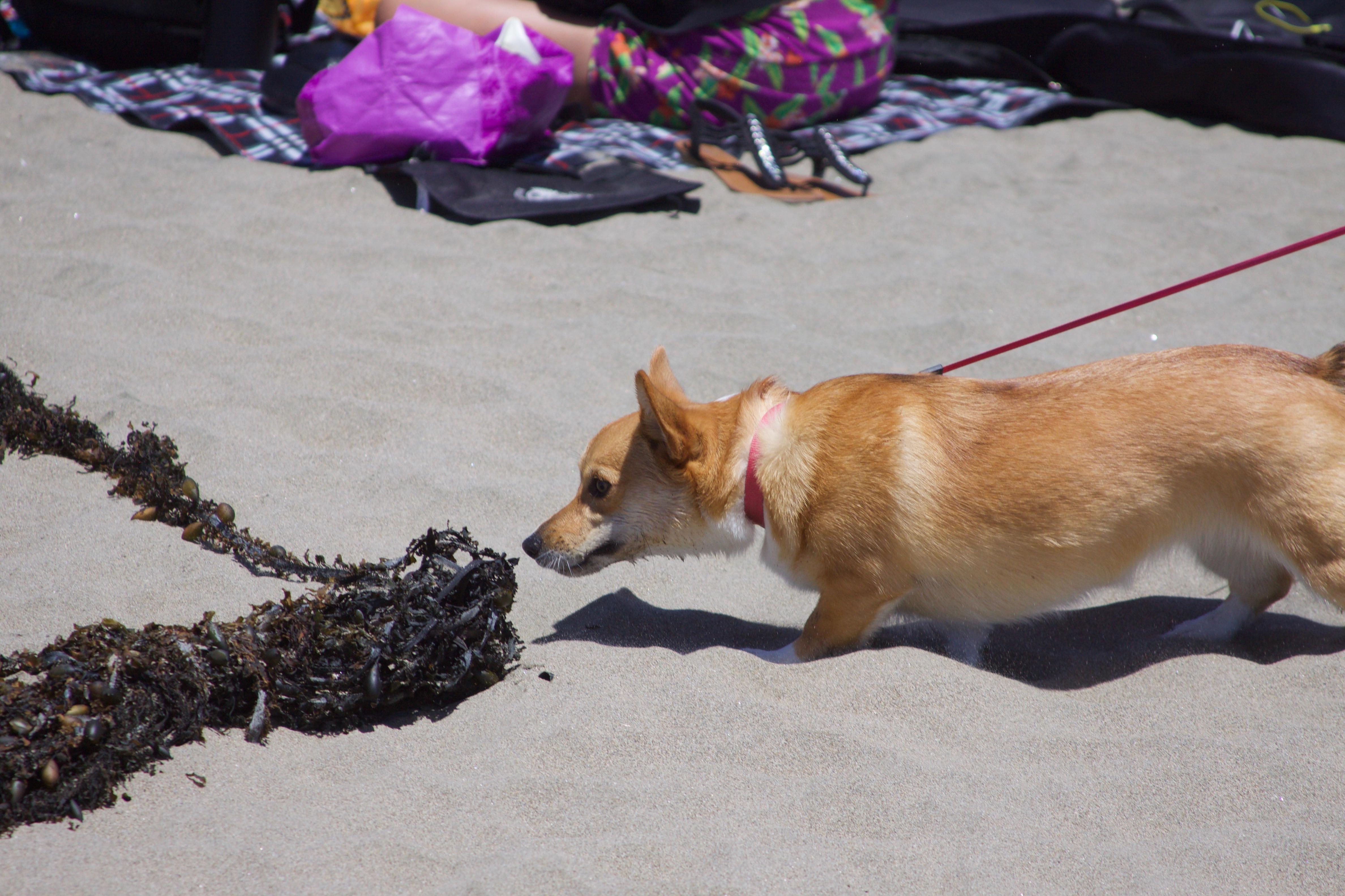 Corgi Smelling Seaweed On Beach