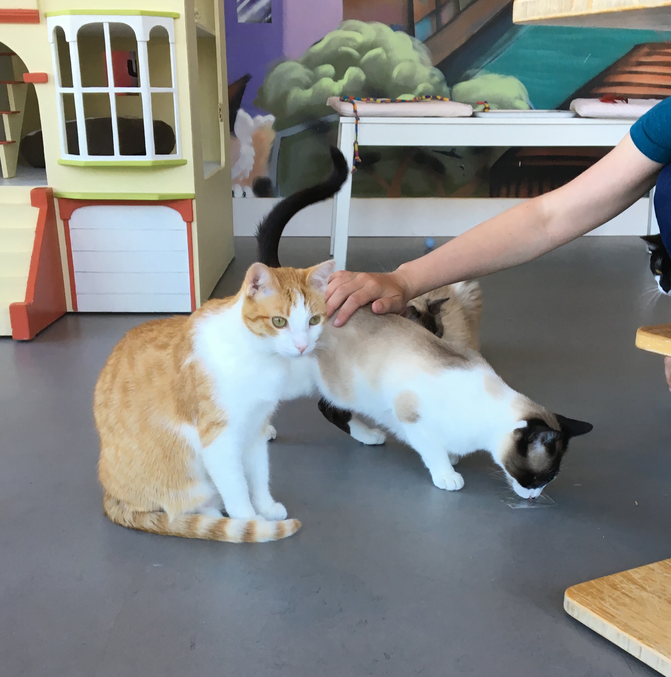 Three Cats At The Oakland Cat Cafe Cat Town