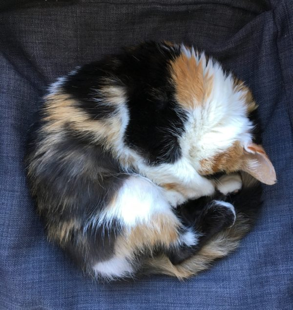 Calico Cat Curled Up In A Cat Bed