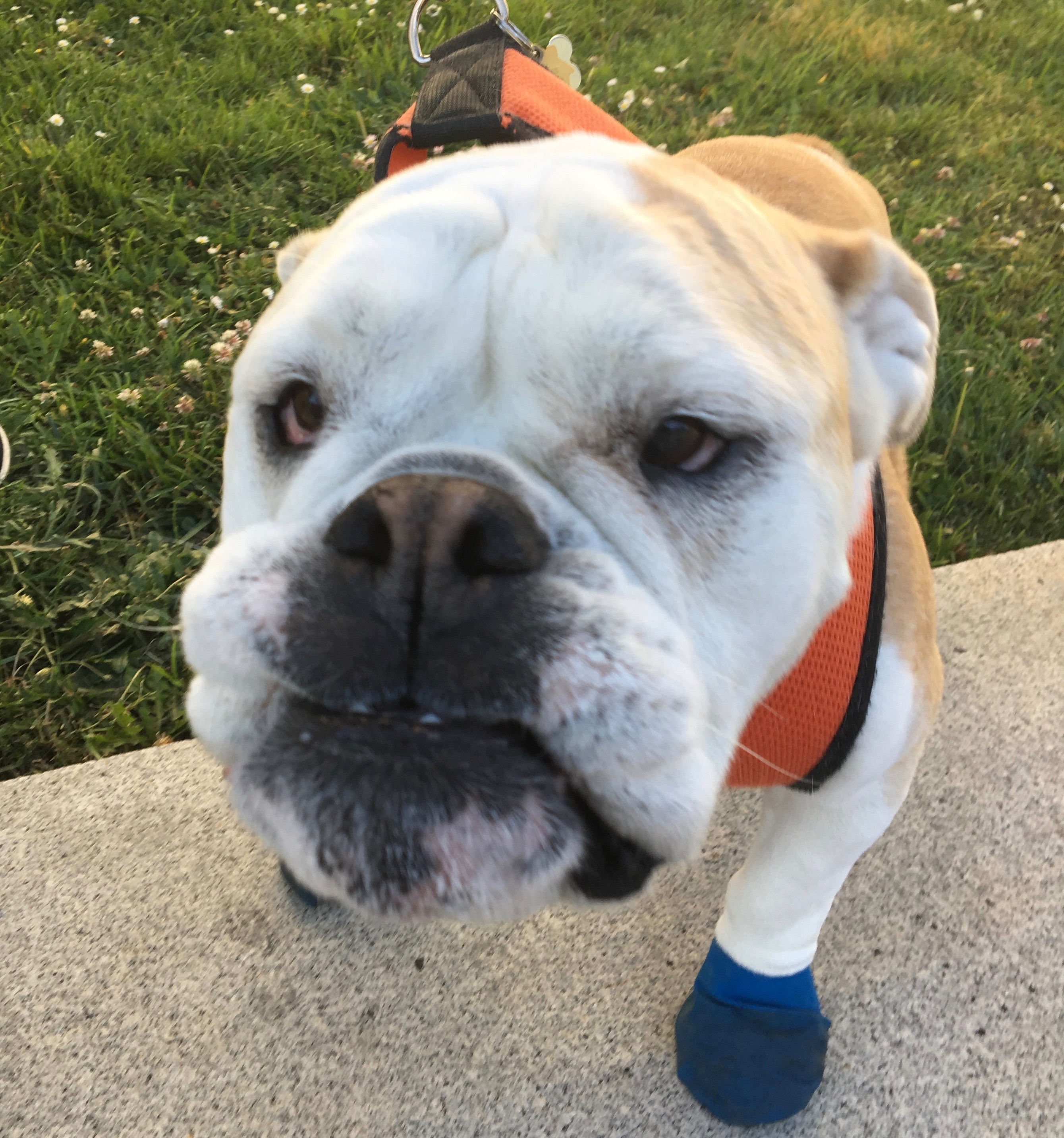 English Bulldog In Blue Boots Staring Into The Camera