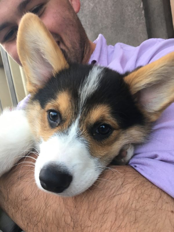 Closeup Of Pembroke Welsh Corgi Puppy Face