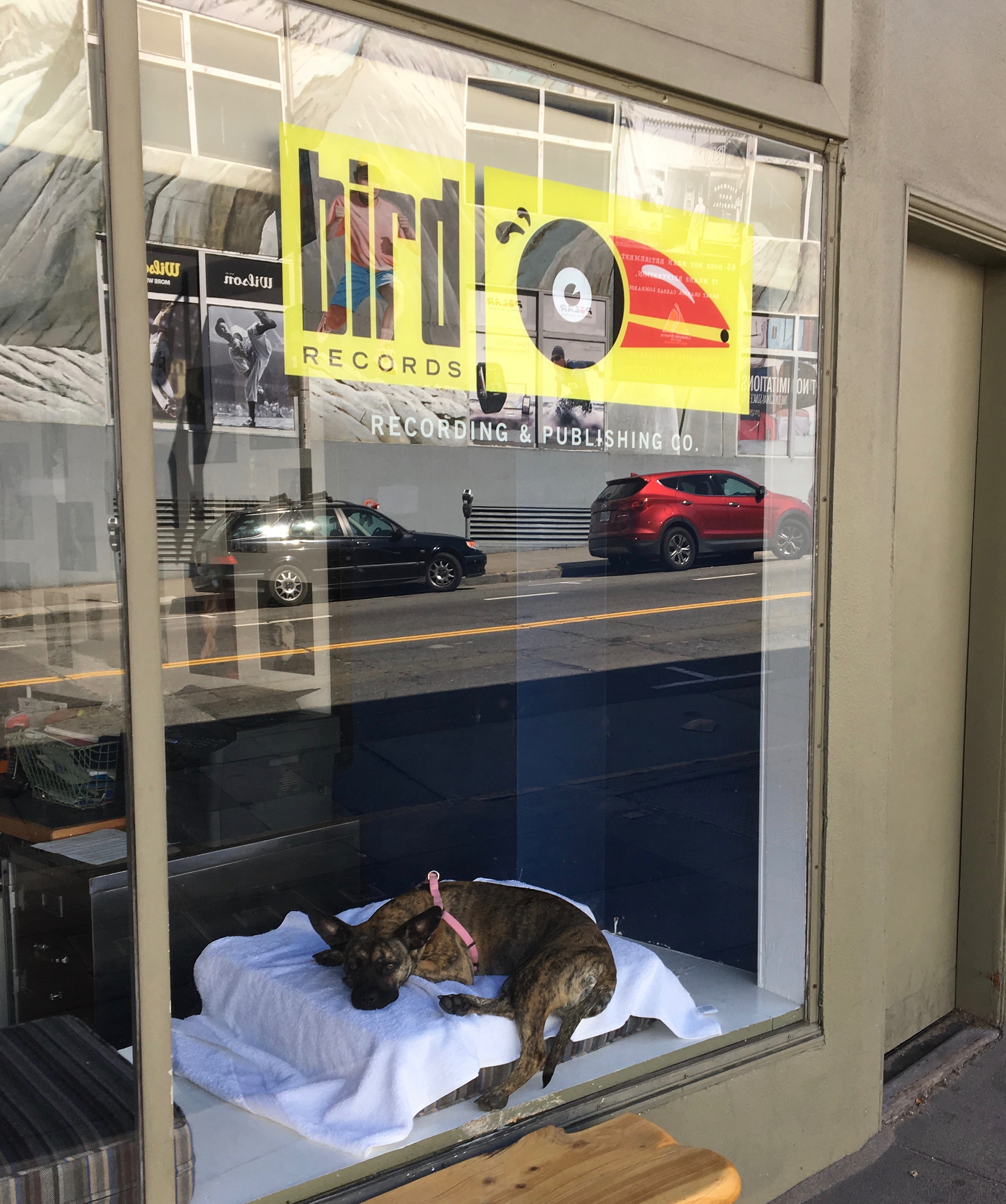Brindled Pit Bull Mix In The Window Of Bird Records On Polk Street San Francisco