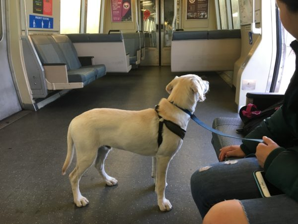 Yellow Labrador Retriever Looks Out The Open Doors Of BART Train