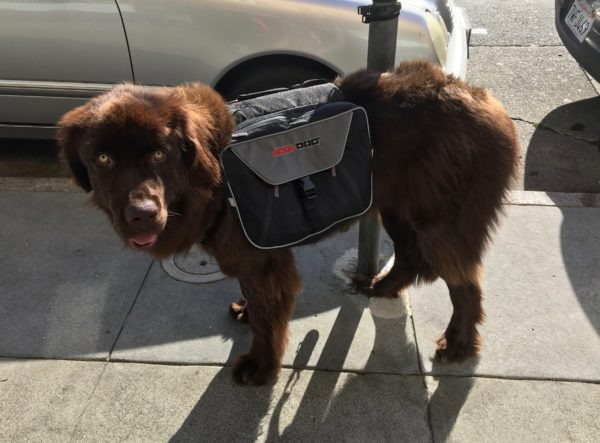 Brown Newfoundland Dog With Pack And Very Blank Stare