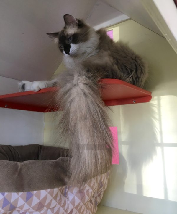 Cat With Giant Fluffy Tail Sitting In Small Cat House