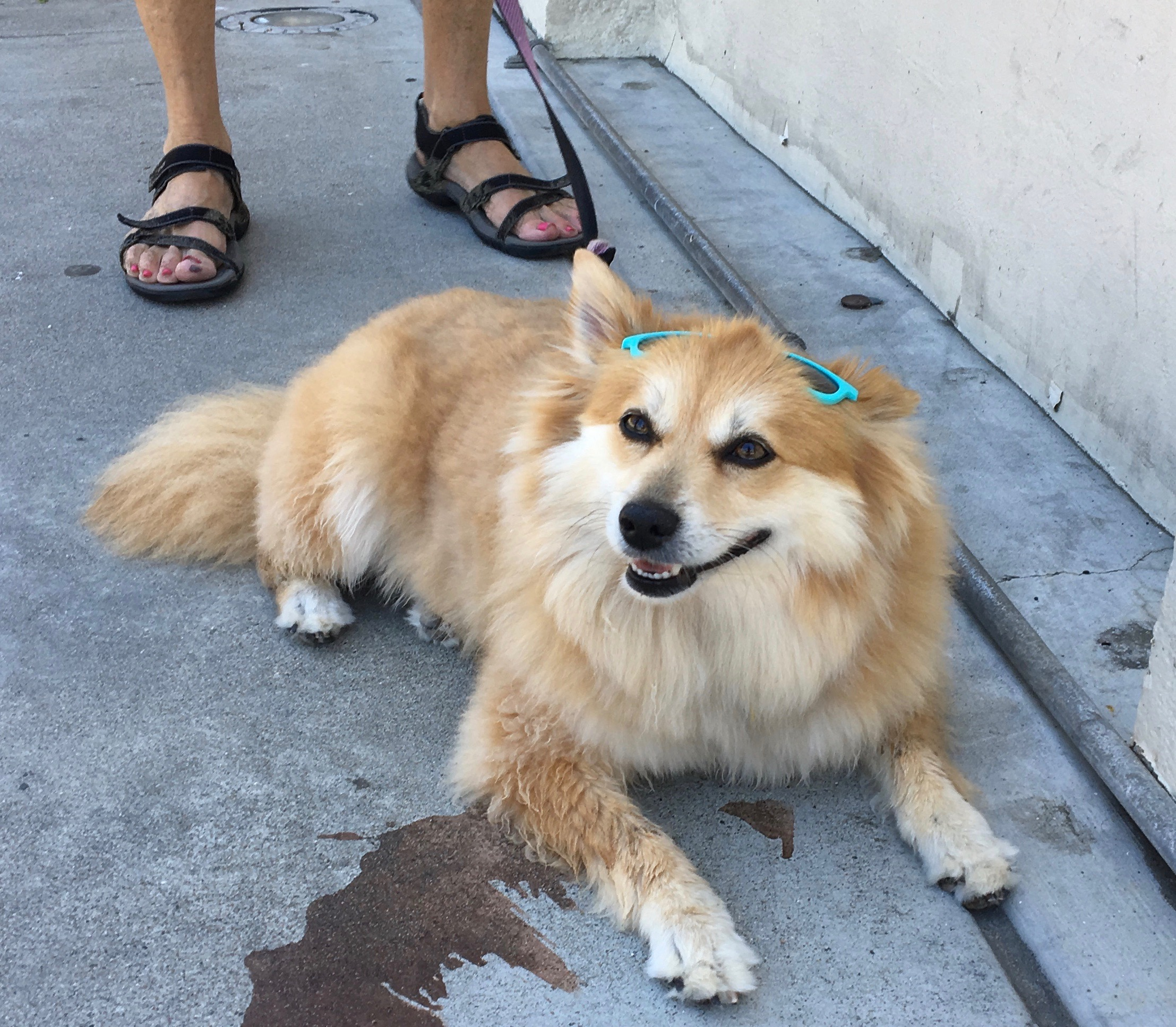Golden Dog Wearing Sunglasses Pushed Back Up On Her Head