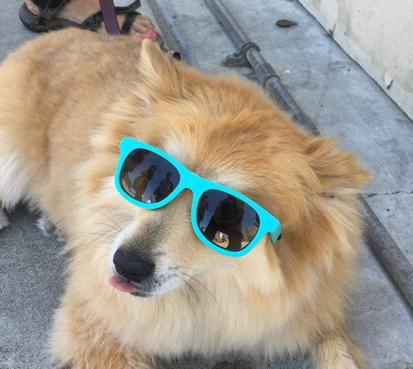 Fluffy Yellow Dog With Sunglasses On