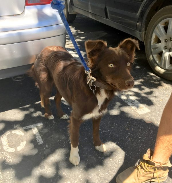 Brown And White Border Collie Mix Looking Alert