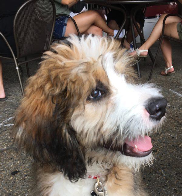 Bernadoodle Puppy Smiling