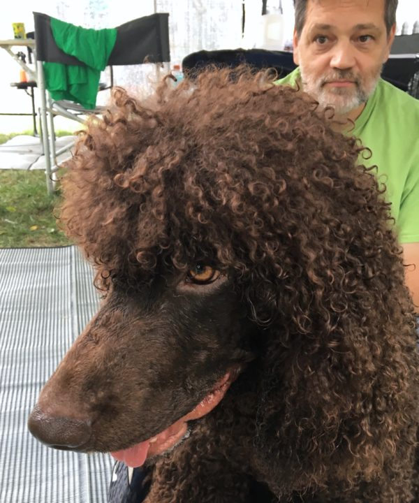 Irish Water Spaniel Looking Happy