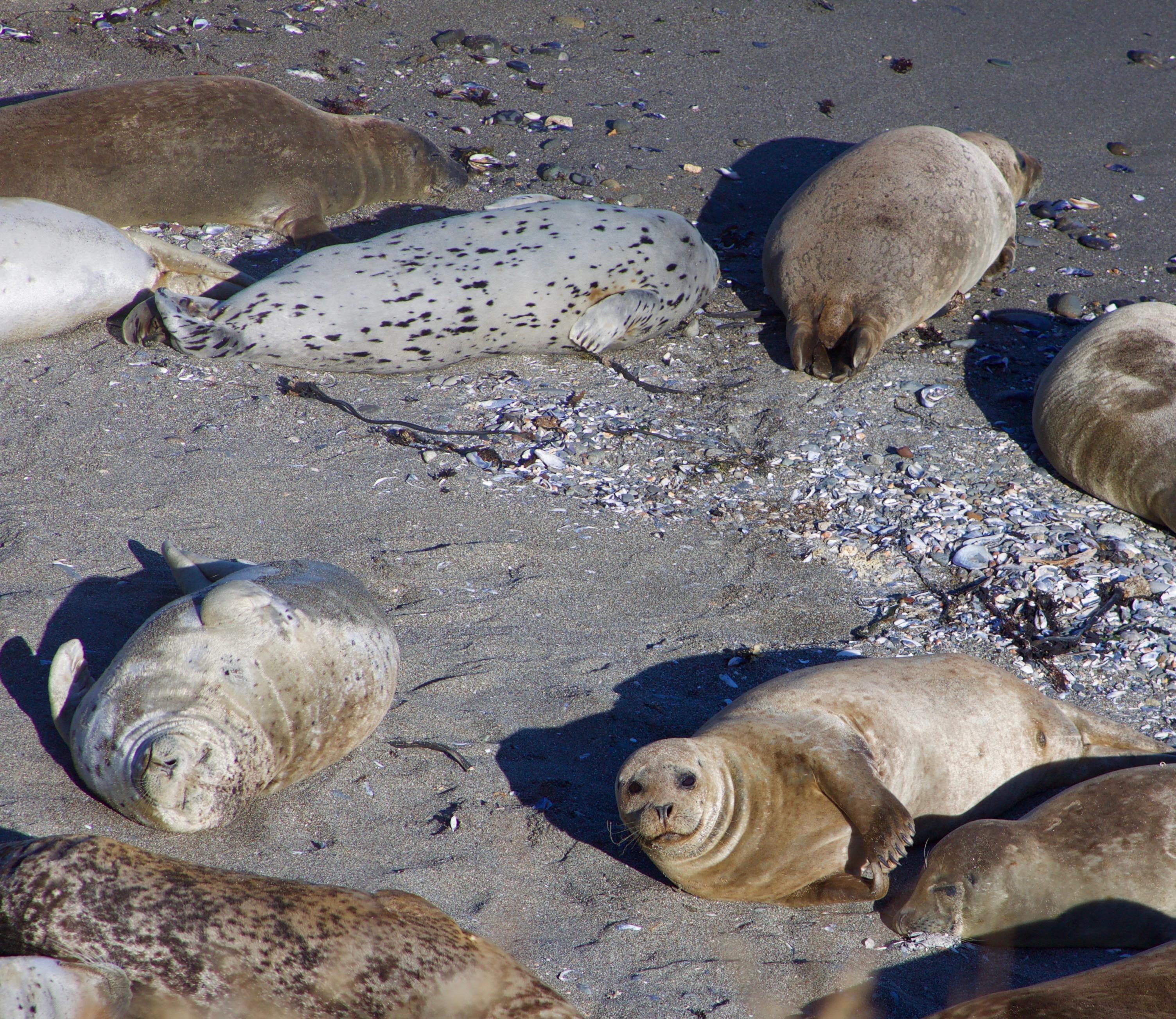 Seals Basking On A Beach, Sea Ranch, CA