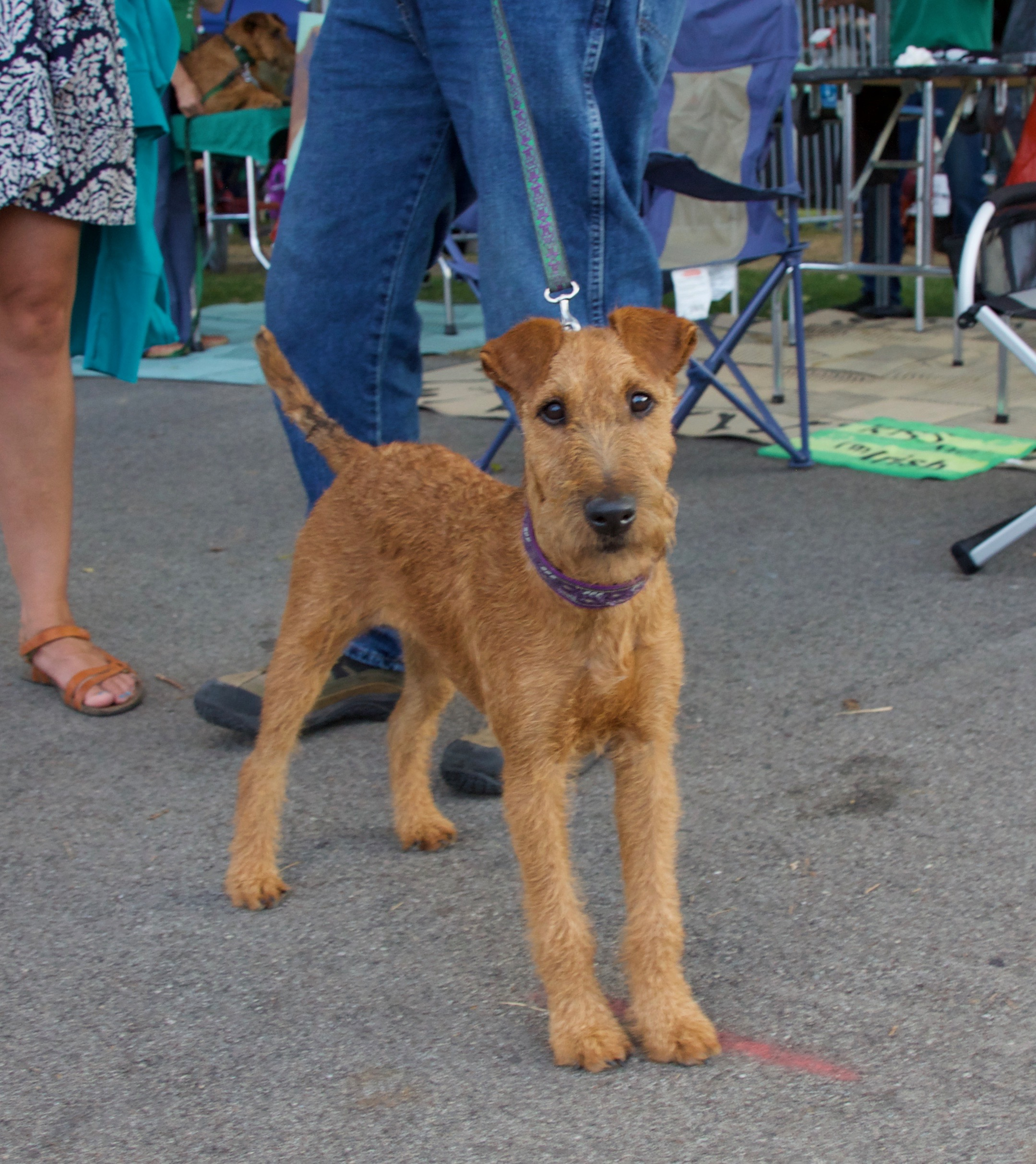 Young Irish Terrier