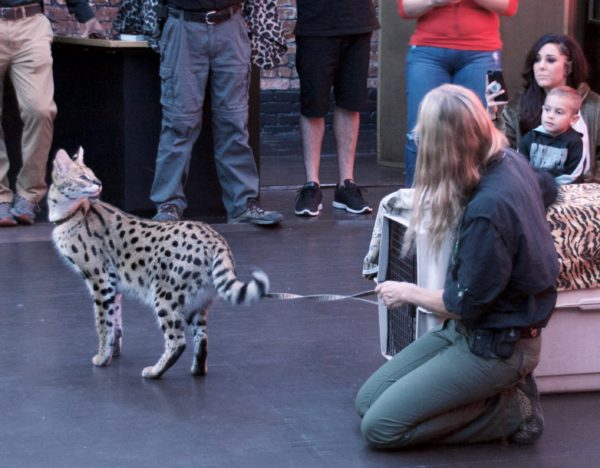 Serval Looking Over His Shoulder At Woman
