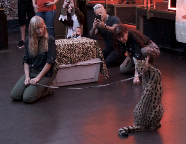 Serval Sitting On Floor