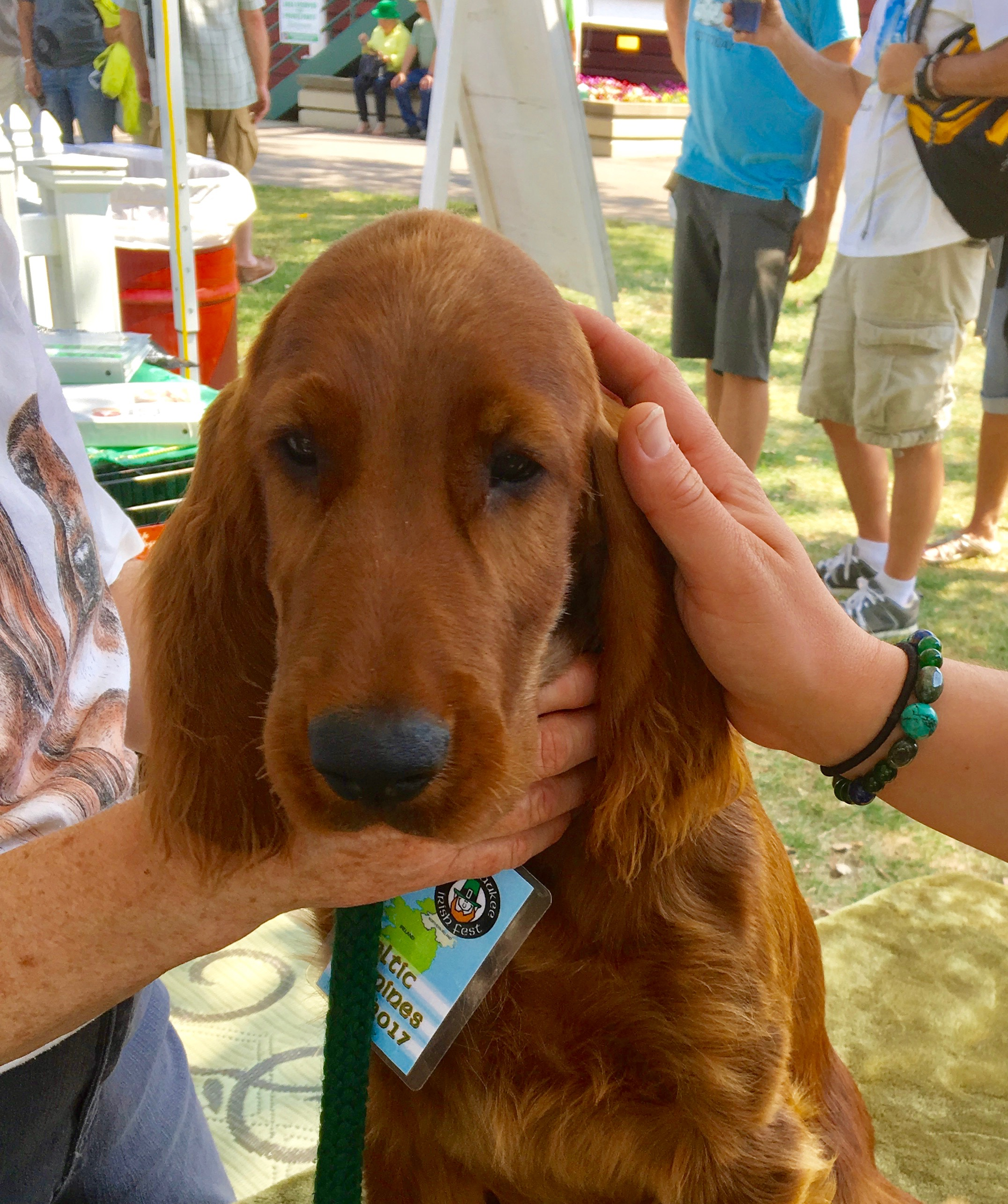 Irish Setter Puppy Being Petted