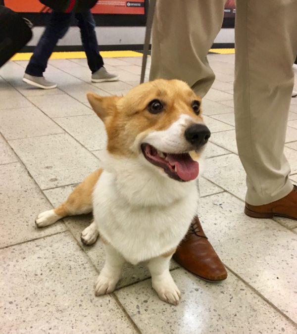 Happy Pembroke Welsh Corgi Sitting And Grinning