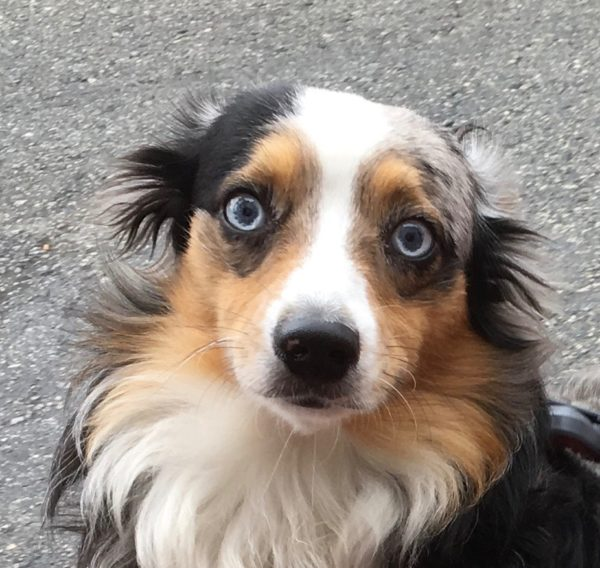Blue Merle Tricolor Australian Shepherd With Striking Blue Eyes