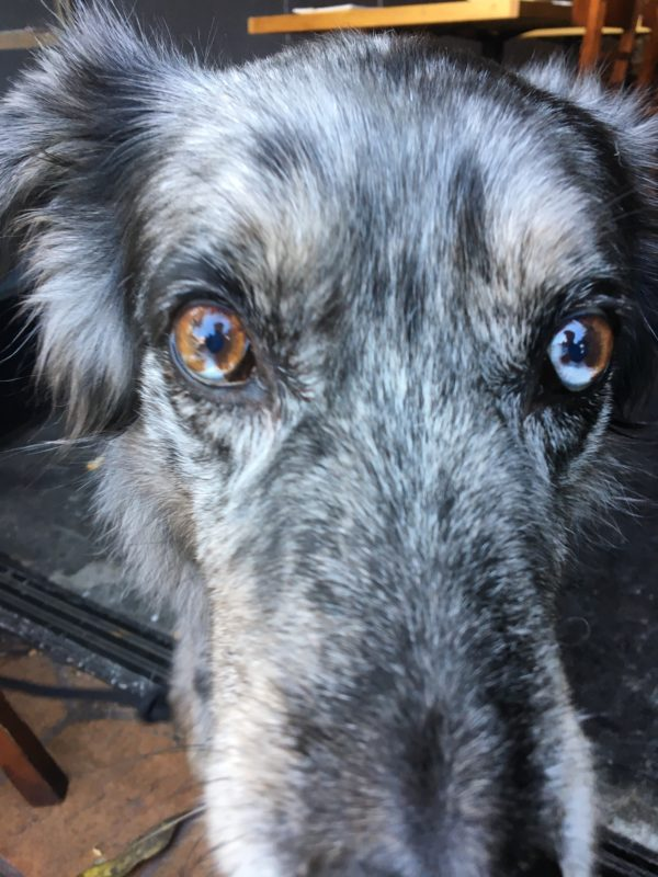 Gorgeous Blue Merle Australian Shepherd Mix With Partial Heterochromia