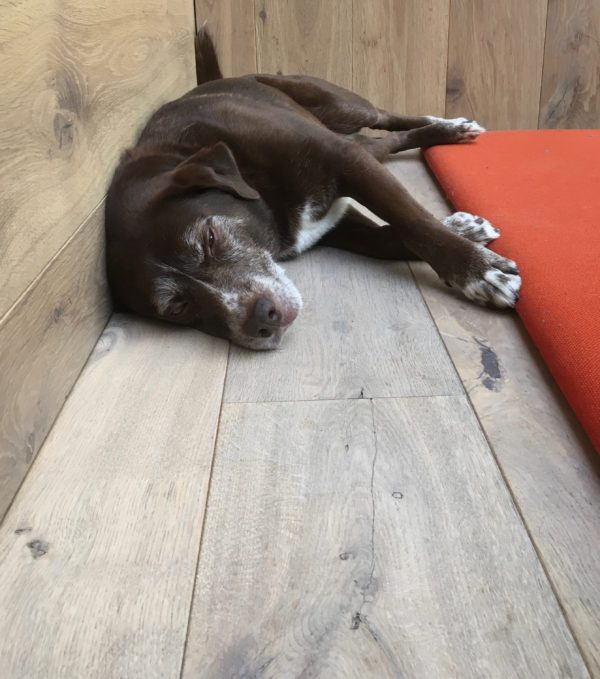 Brown Labrador Retriever Mix Napping