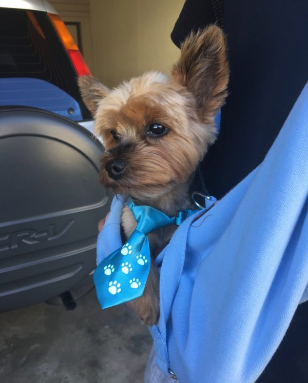 Yorkshire Terrier With Blue Necktie In Sling