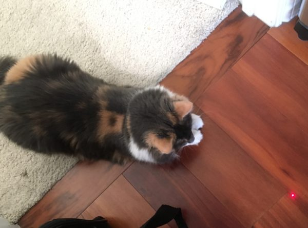 Fluffy Tortoiseshell Kitty Staring At A Red Laser Dot