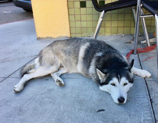 Siberian Husky Lying On The Sidewalk