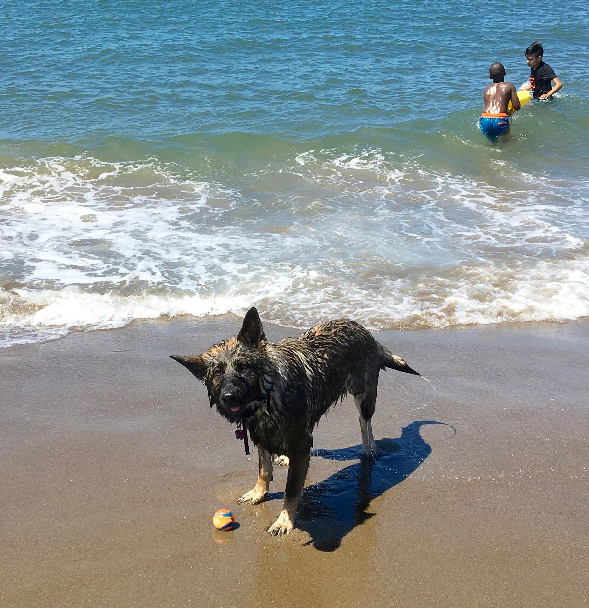 Wet German Shepherd Waiting To Play Fetch On A Beach